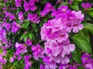 【新聞】期間限定紫色瀑布!泰山蒜香藤秘境周末花開最盛