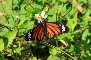 2014-1123-虎斑蝶