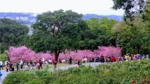 天元宮的櫻花