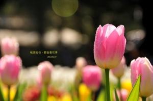 【桃園】鬱金香花開了。2013 桃源仙谷鬱金香花季