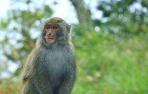 金翼白眉與台灣潑猴