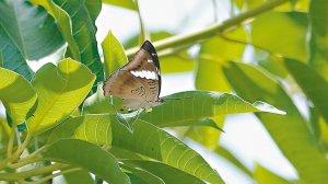 【新聞】已成族群? 基隆又見尖翅翠蛺蝶