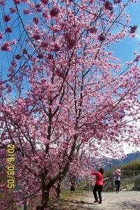 105-03-05 新竹縣尖石鄉司馬庫斯神木二日遊