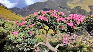 山岳之美-合歡山賞紅毛、玉山杜鵑
