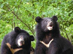 【保育】山林的靈魂:台灣黑熊