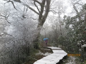 太平山 山毛櫸步道霧淞美景