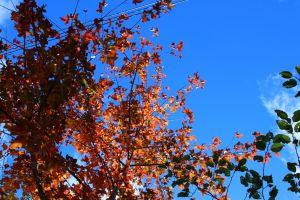 鎮西堡的楓紅