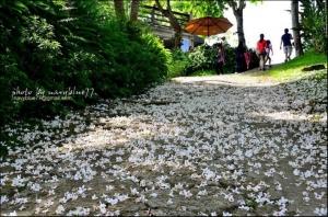 【嘉義】圓仔林幸福山丘油桐花季.全台最早降臨的白色幸福