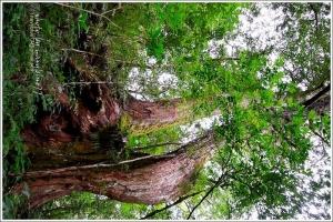 新竹尖石鎮西堡巨木群步道