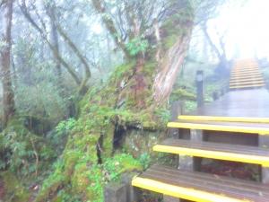 太平山之鐵杉林步道