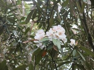 【春夏之際】水社大山賞台灣杜鵑南澳杜鵑