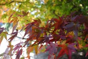 戀戀楓情……福壽山農場火紅的美麗詩篇