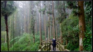 【帶著父母走步道】奮起湖台灣杉步道