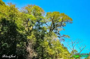 拉拉山巨木群步道