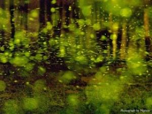 【昆蟲】螢火蟲的拍攝方法與技巧