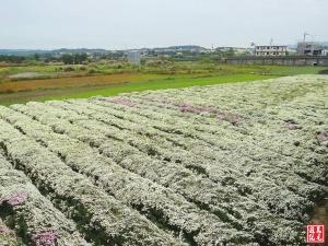 【開花筆記】2014銅鑼杭菊