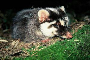 【自然谷之星】鼬獾 溫馴笨拙的臭貍仔