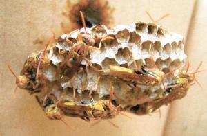 【書摘】《與虎頭蜂共舞》-遇到虎頭蜂怎麼辦