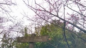 忠義山巧遇櫻花