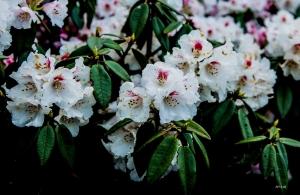 奇萊北 逛杜鵑花園賞花