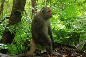棲蘭森林驚見彌猴 20160915