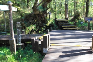太平山檜木原始林→鐵杉林步道P型