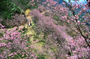 三峽熊空追櫻之旅