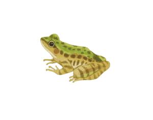 【森林之寶】嘉南雲峰步道-斯文豪氏赤蛙
