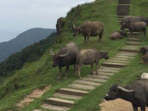 桃源谷的牛牛們