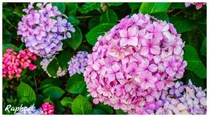 武陵富野渡假村前繡球花正盛開