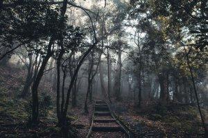散步在霧中-觀霧神木