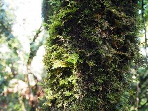 觀霧檜山巨木群及觀霧步道20181121