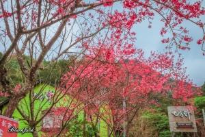 神仙谷瀑布的櫻花