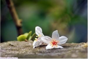 五月雪-油桐花之美
