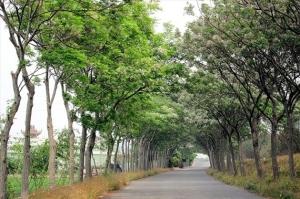 【開花筆記】嘉義新港苦楝樹綠色隧道