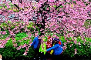 2018淡水天元宮櫻花季