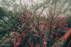 勝興車站的櫻花