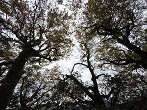 內鳥嘴山、北得拉曼巨木步道