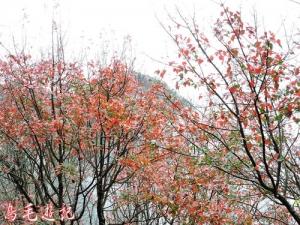 【台中】鳶嘴山稍來山之楓紅