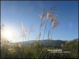 季節限定蘭陽溪畔甜根子草的銀白世界