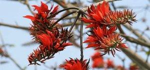 【環境】當原住民遇見植物 等候刺桐花