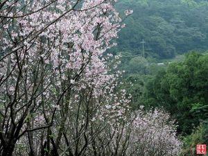 【新北市】三芝木屐寮移動森林吉野櫻