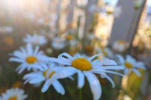 法國菊的魅力....玉山北峰