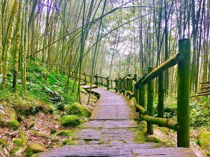 櫻花嬌竹林靜溪水潺潺 迷糊步道福山古道