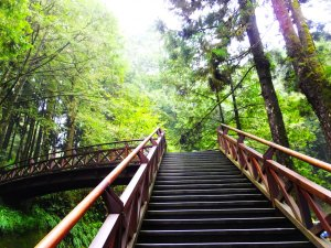 走阿里山神木群棧道,漫步在雲端及迷霧森林