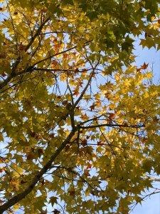 陽明銀杏黃金楓