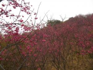 楊梅秀才步道上的櫻花林