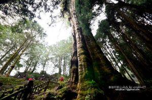 【嘉義】阿里山鐵道水山線-水山巨木-享受舒活森林浴.瞻仰大氣勢神木