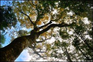 秋の金黃外衣 ~ 山毛櫸。北得拉曼