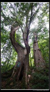 鎮西堡巨木群B區